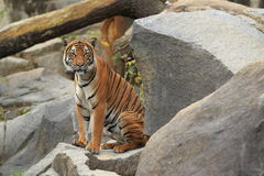 Tigre indochinois Photos stock
