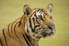 Tigre indochinois adulte photographie stock