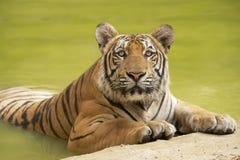 Tigre indochinois adulte au bord de l'eau photographie stock