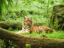 Tigre indonésio Fotografia de Stock Royalty Free