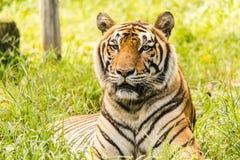 Tigre, jardim zoológico, árvore, com fome, Fotografia de Stock Royalty Free