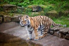 Tigre joven de amur Foto de archivo libre de regalías