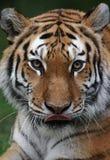Tigre léchant la bouche Photographie stock libre de droits