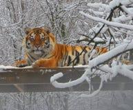 Tigre le jour neigeux Images libres de droits