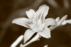 Tigre Lilly Foto de Stock Royalty Free