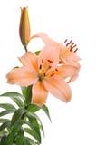 Tigre lilly Imagem de Stock
