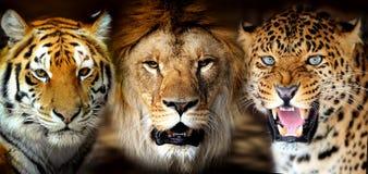 Tigre, lion, leorard Images libres de droits