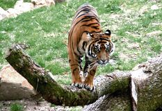 Tigre listo para saltar Imagen de archivo