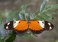 Tigre Longwing Immagini Stock Libere da Diritti