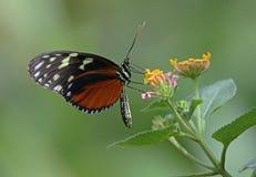 Tigre Longwing Immagini Stock