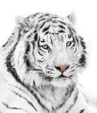 Tigre magnífico Fotos de archivo