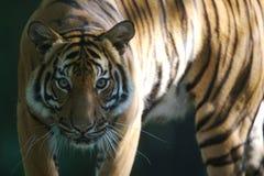 Tigre malaio Foto de Stock Royalty Free