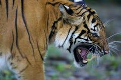 Tigre malaio Foto de Stock