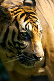 Tigre malaio Fotografia de Stock Royalty Free
