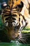 Tigre malaio Fotografia de Stock