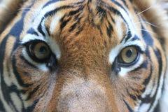Tigre malais Image stock