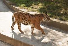 Tigre malais Photo stock