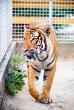 Tigre malais Photos stock