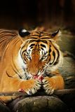 Tigre malais Photo stock