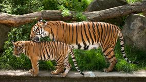 Tigre malais, mère avec le chaton photo libre de droits