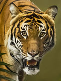 Tigre malaisien Images stock
