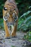 Tigre malasio Imágenes de archivo libres de regalías