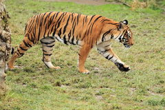 Tigre Malayan Imagens de Stock Royalty Free