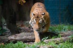 Tigre Malayan Foto de Stock