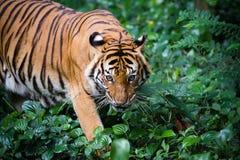 Tigre Malayan Imagem de Stock
