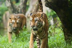 Tigre Malayan, espécie em vias de extinção imagem de stock