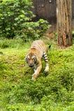 Tigre malayo furioso Imagenes de archivo