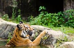 Tigre malese Fotografia Stock