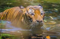 Tigre malese Immagini Stock