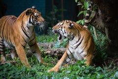 Tigre malese Fotografie Stock