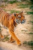 Tigre marchant autour image stock