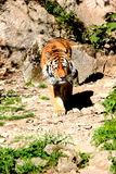 Tigre marchant dans la roche Images stock