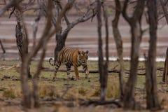 Tigre marchant par des bois, Inde Photo libre de droits