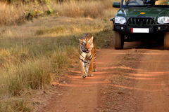 Tigre marchant sur la route photo stock