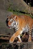 Tigre marchant sur la saillie Photographie stock libre de droits