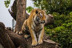 Tigre masculin d'Amur de Sibérien dans l'arbre Photographie stock