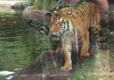 Tigre masculino fotografia de stock