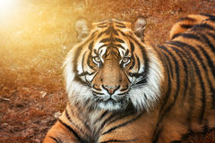Tigre masculino no por do sol do retrato com olhos intensos Imagens de Stock