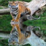 Tigre masculino salvaje que se coloca en el tronco del árbol cerca del agua con la reflexión del agua fotografía de archivo