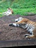 Tigre medio dormido Foto de archivo libre de regalías