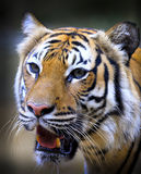 Tigre mis en danger de Sumatran Photographie stock