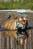 Tigre na água Imagem de Stock