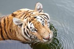 Tigre na água fotografia de stock
