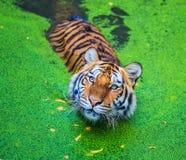 Tigre na água imagens de stock royalty free