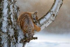Tigre na árvore de larício Tigre na natureza selvagem do inverno Tigre de Amur que corre na neve Cena dos animais selvagens da aç Fotos de Stock