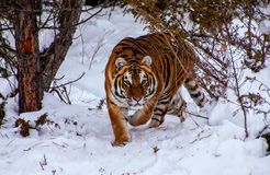 Tigre na floresta Fotografia de Stock Royalty Free